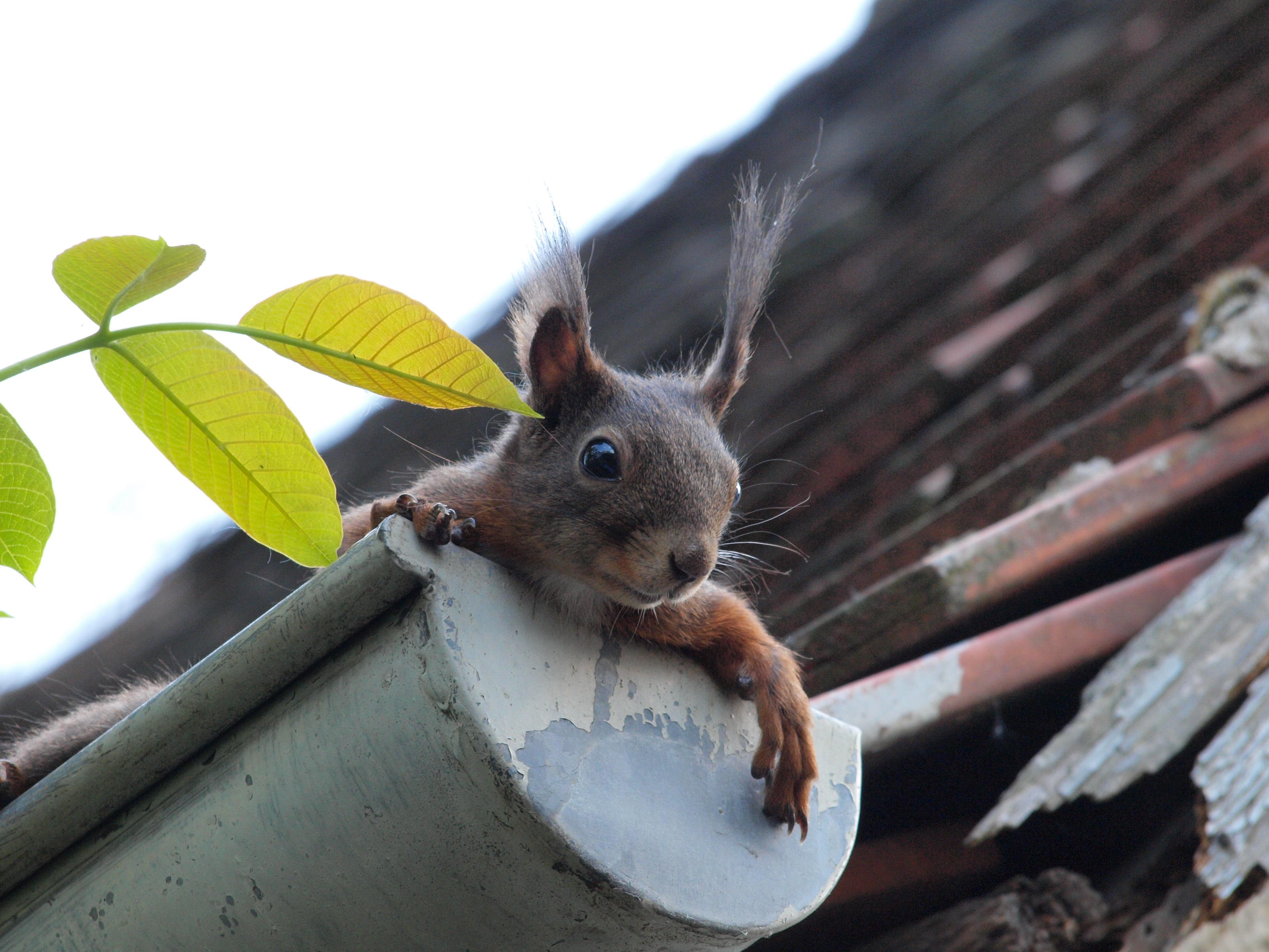 squirrel-curious-gutter-rodent-451009